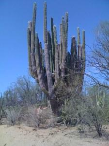 Big A__ Cactus!